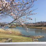 豊橋の桜おすすめスポット♪幸公園の満開はいつ?